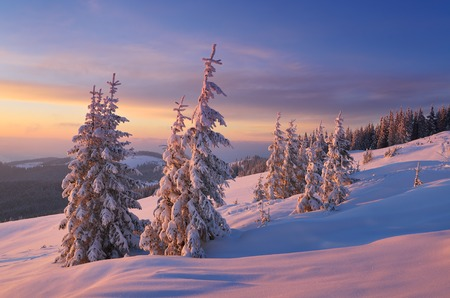 Christmas landscape. Spruce forest in winter. Beautiful light at sunset photo