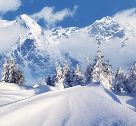snowdrifts: Sunny day in a mountain forest. Winter landscape. Fir trees under the snow and snowdrifts