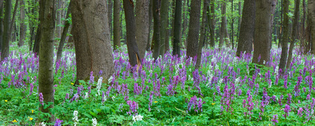 corydalis: Spring landscape. Flowers in the forest. Blooming primrose.