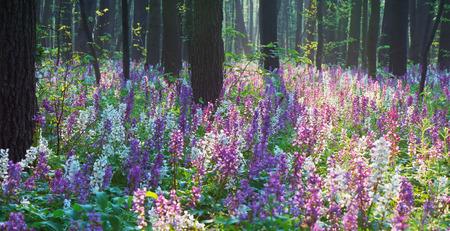 corydalis: Beautiful spring forest. Blooming flowers primroses