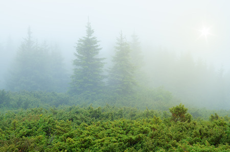 dampness: Spring in the mountains. Fog in the fir forest