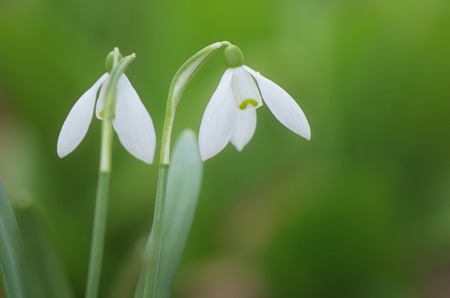 First spring flowers on a background of green grass. Two white snowdrops in the forest photo