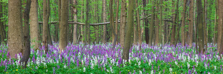 corydalis: Spring forest. Panorama. The first flowers Stock Photo