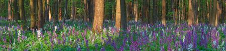 corydalis: Spring landscape. Primrose flowers corydalis in the forest. Landscape panorama