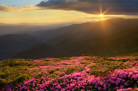 Summer landscape. Flowers in the mountains. Blooming rhododendron. Beauty in nature photo