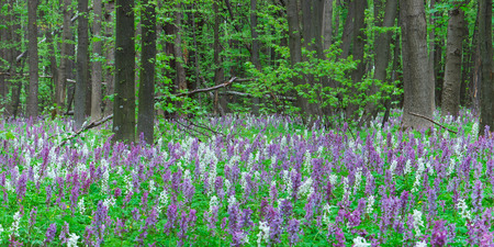 beautiful woodland: First flowers in the forest. Spring landscape