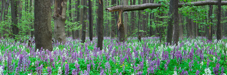 corydalis: Forest landscape panorama. Spring flowers. Beauty in nature