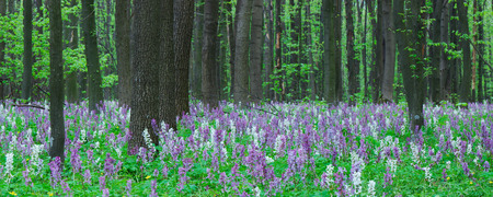 corydalis: Forest landscape. Spring flowers. Beauty in nature
