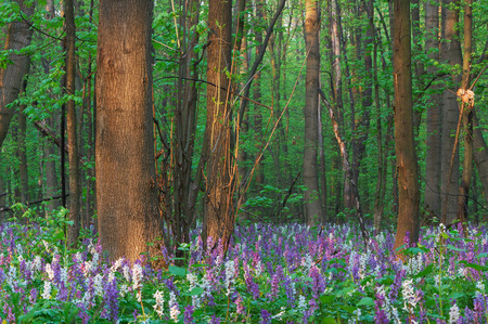 corydalis: Forest landscape. The first spring flowers. Beauty in nature Stock Photo
