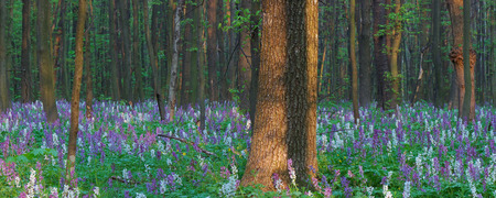 corydalis: Spring landscape with flowers in the forest Stock Photo