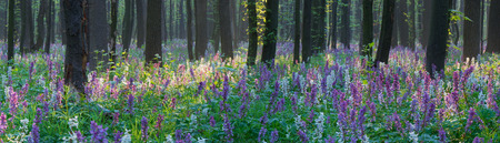 corydalis: Forest Landscape with primrose. Beauty in nature