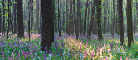 corydalis: Landscape view. Spring in the forest. The first flowers Stock Photo