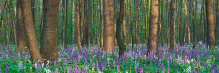 corydalis: Spring landscape with the first spring flowers in the forest Stock Photo