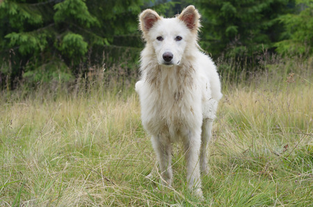 watchman: White dog that guards the flock of sheep in the mountains Stock Photo