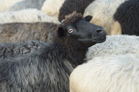 animal ram: Black sheep