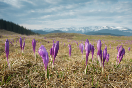 early spring snow: Blooming crocuses in the mountains. Spring landscape with flowers. Beauty in nature Stock Photo