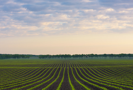 cornfield: Morning landscape. Cornfield. Natural line