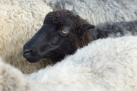Muzzle of a black sheep in the herd