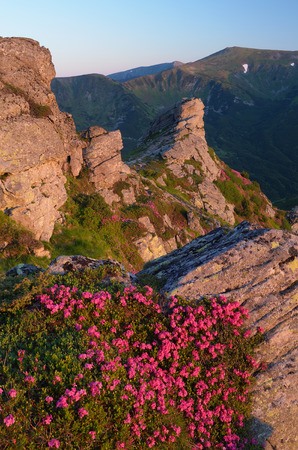 landscape flowers: Pink flowers on the cliff. Summer landscape in the mountains. Morning sunlight. Blooming rhododendron bushes. Carpathians, Ukraine. Vertical layout