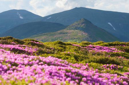 campo de flores: Día de sol en las montañas. Rododendros en flor rosa. Claro con las flores. Poca profundidad de campo. Montañas de los Cárpatos. Ucrania