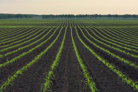 hilera: Campo de maíz. Las líneas en la naturaleza. paisaje de la mañana Foto de archivo
