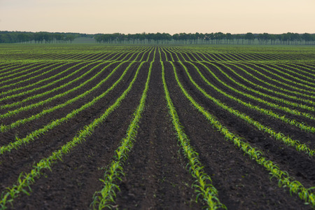 row: Corn field. The lines in nature. Morning landscape