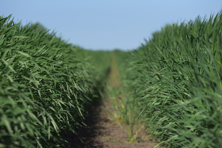 cultivo de trigo: Campo de trigo verde jóvenes