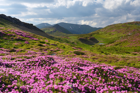 landscape flowers: Summer mountain landscape with flowers in a meadow. Carpathians, Ukraine, Europe. Sunny day Stock Photo