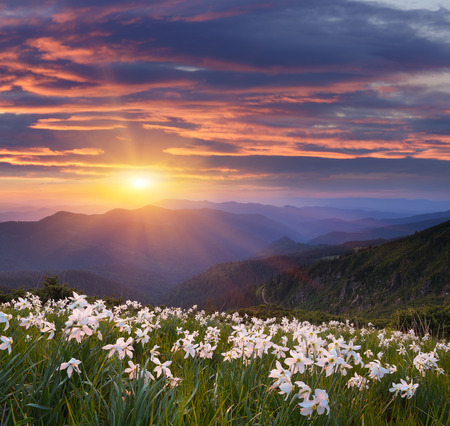 carpathian mountains: Evening landscape with flowers. Blooming daffodils in the mountains. The setting sun. Carpathian Mountains, Ukraine Stock Photo