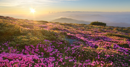 landscape flowers: Mountain landscape. Flowers in the light of the sun on the hillside. Blooming pink rhododendron at dawn. Carpathians, Ukraine, Europe