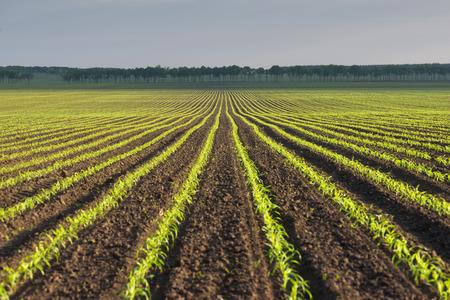 planta de maiz: Paisaje de la mañana con un campo de maíz tierno Foto de archivo