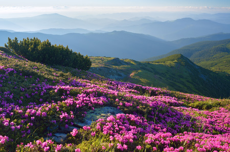 Summer landscape with flowers in the mountains. Blooming pink rhododendron on the slopes. Carpathians, Ukraine, Europe