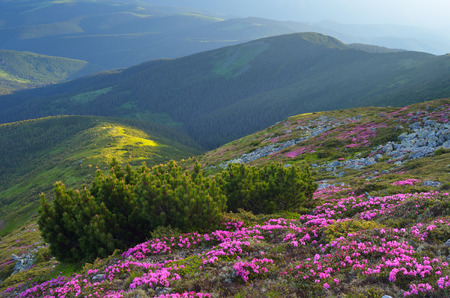 landscape flowers: Summer landscape with flowers in the mountains. Bush mountain pine on the slopes. Carpathians, Ukraine. Europe
