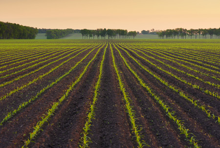 corn rows: Field with rows of young corn. Morning landscape before sunrise. Beautiful orange light in the sky. Ukraine