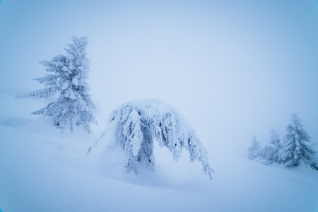 heavy snow: Bowed spruce under heavy snow. Winter landscape in a mountain forest. Color toning Stock Photo