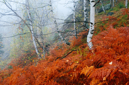 fog forest: Autumn landscape with fog in the mountain forest. Red fern