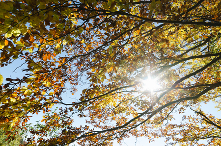 beech tree beech: Autumn forest. Sun rays in the branches of a tree. Beech with yellow leaves in October