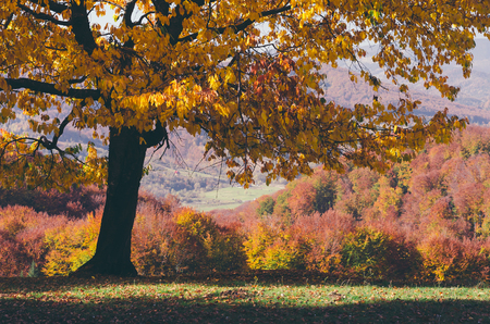autumn color: Colorful autumn tree in a clearing near the woods. Color toning, low contrast