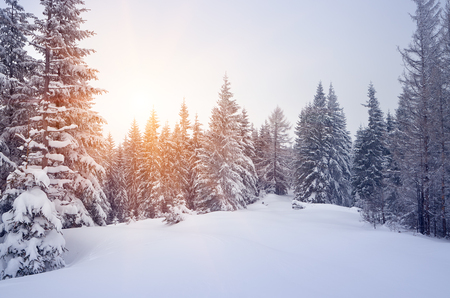 Winter landscape with snow-covered spruce forest. Christmas view. Color toning