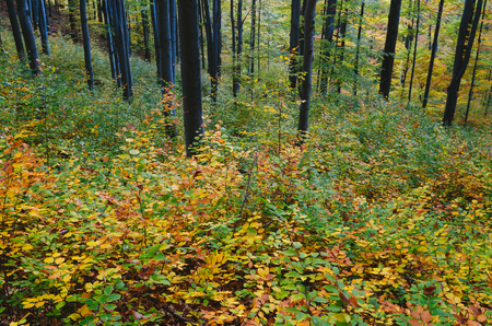 yellow trees: Colorful autumn in the mountain forest. Beech trees with red and yellow leaves Stock Photo