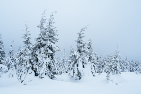 snow forest: Christmas landscape. Winter forest with snow drifts. Cloudy day