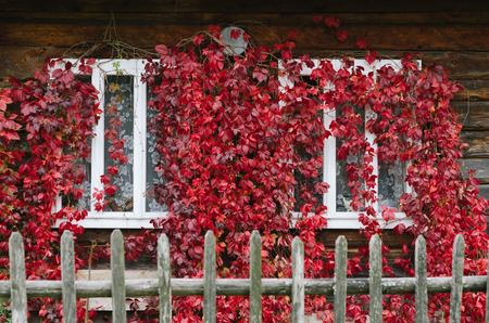 Autumn time. Red leaves of wild grapes on the windows of the house