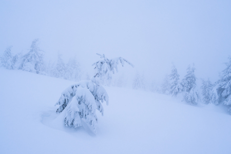 Little spruce under snow. Landscape in mountain forest. Cloudy day harsh winter. Color toning Stock Photo