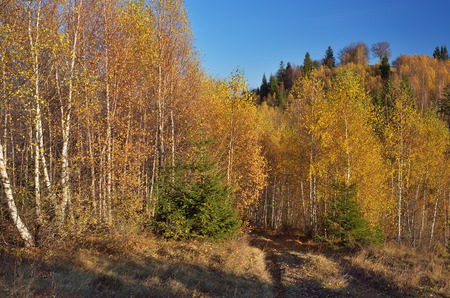 yellow trees: Forest landscape. Autumn in the mountains. Birch trees with yellow leaves