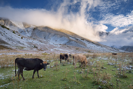 shkhara: Herd of cows in a pasture in the mountains. Autumn landscape with the first snow. Mountain Shkhara in the clouds. Main Caucasian ridge. Zemo Svaneti, Georgia