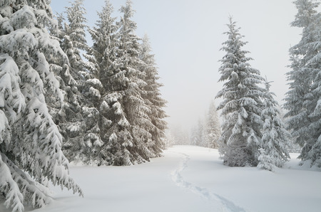 snow forest: Winter landscape in mountain forest. Path in snow. Cloudy day. Carpathians, Ukraine, Europe