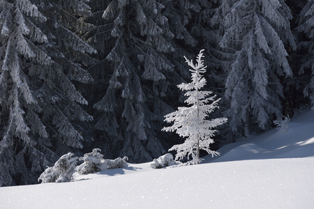 christmas scene: Winter landscape on a sunny day. Tree in snow. Forest on a mountain hill. Carpathians, Ukraine, Europe Stock Photo
