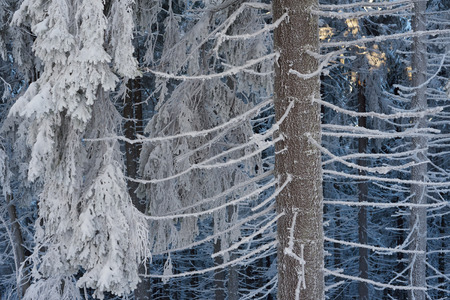 spruce: Winter forest. Fir trees in snow. Beauty in nature Stock Photo
