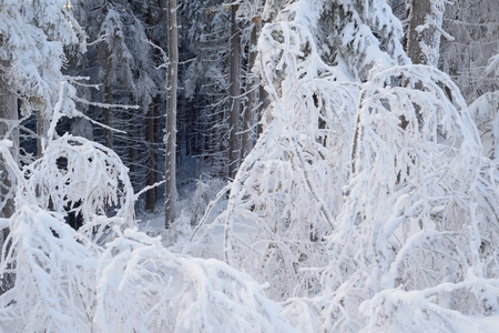frost winter: Winter in forest. Frost and snow on trees. Christmas view Stock Photo