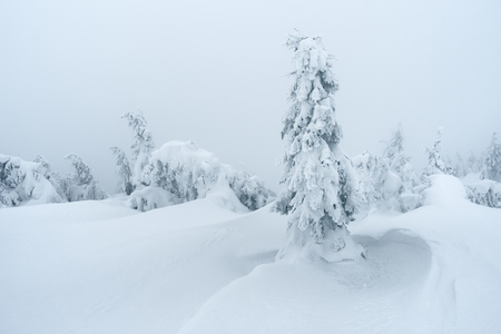 snowdrifts: Fir trees in snow and snowdrifts. Winter in forest. Cloudy day
